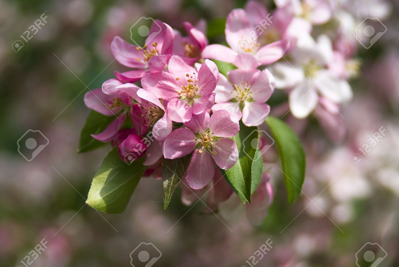 Apple tree blossoming by pink flowers in the spring Stock Photo - 13354894