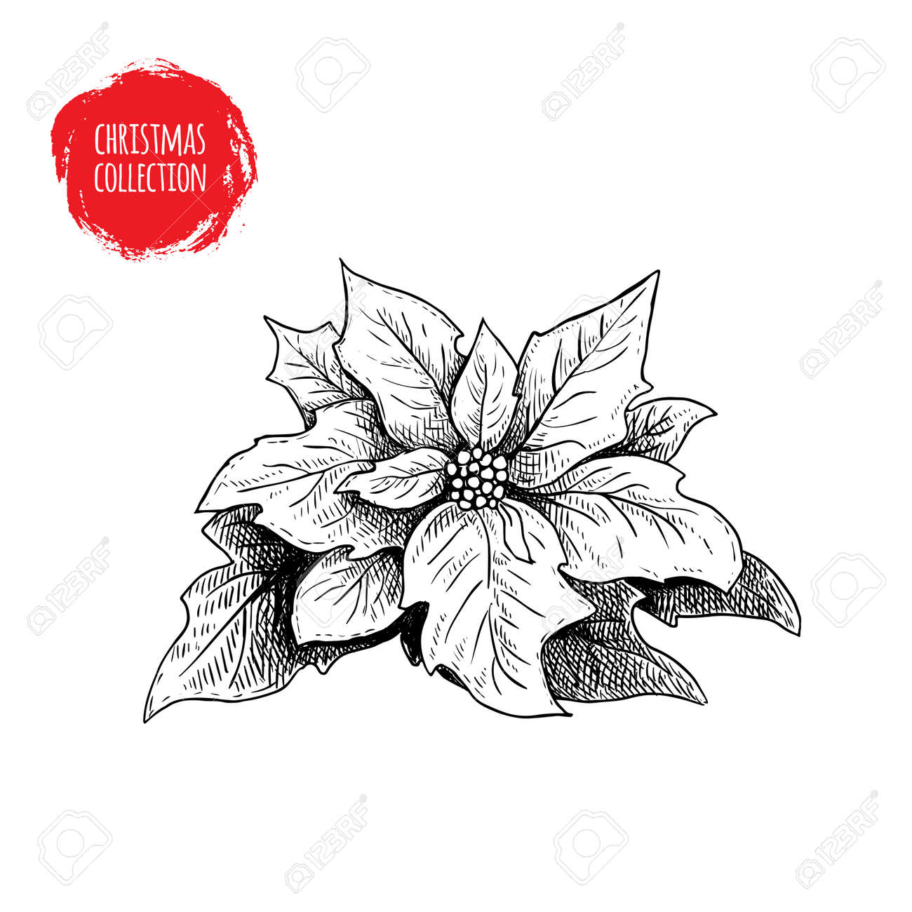 Dibujado A Mano Dibujo Poinsettia. Flor Estacional De Navidad ...
