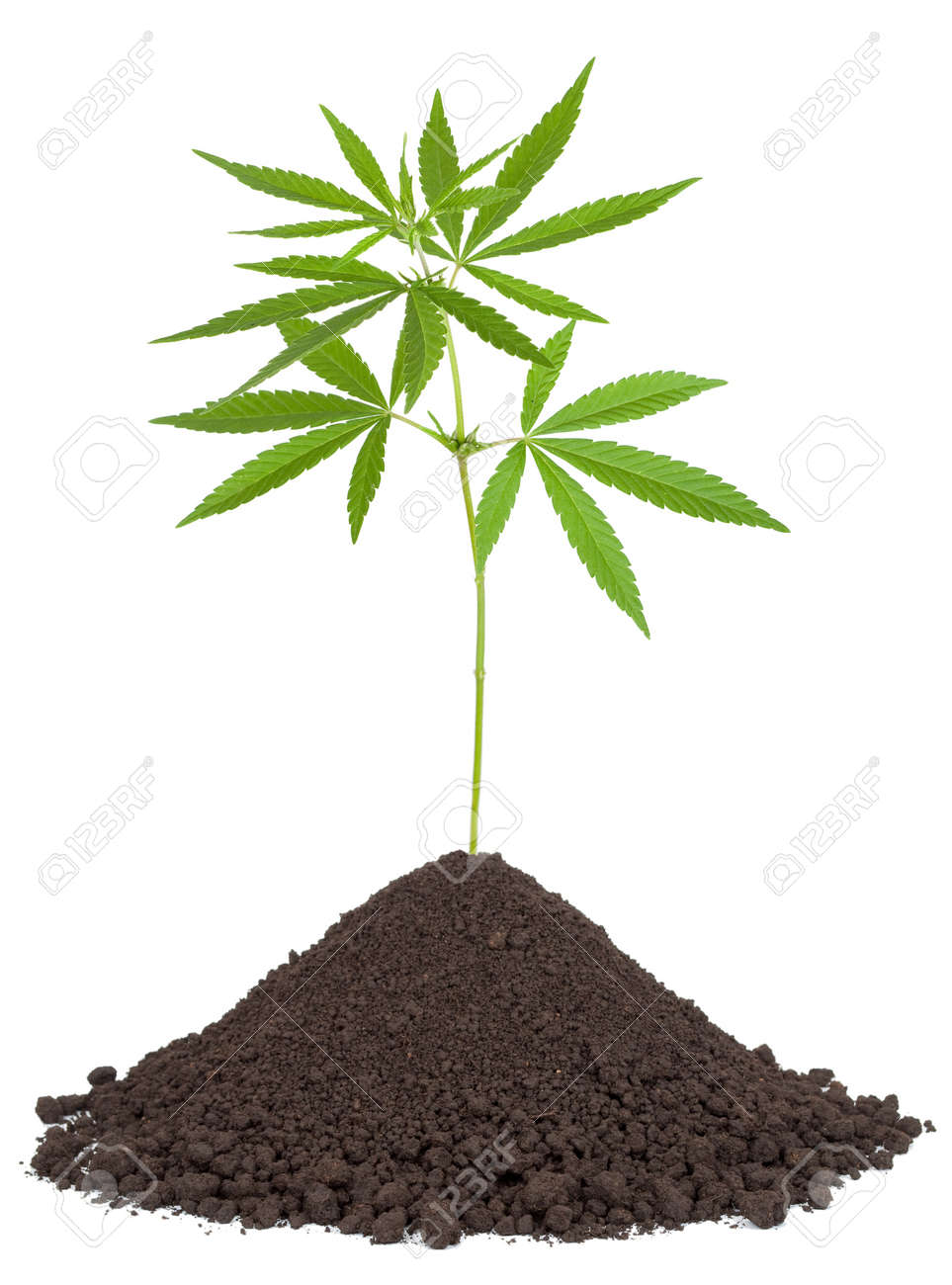 Cannabis plant in soil Stock Photo - 15467773
