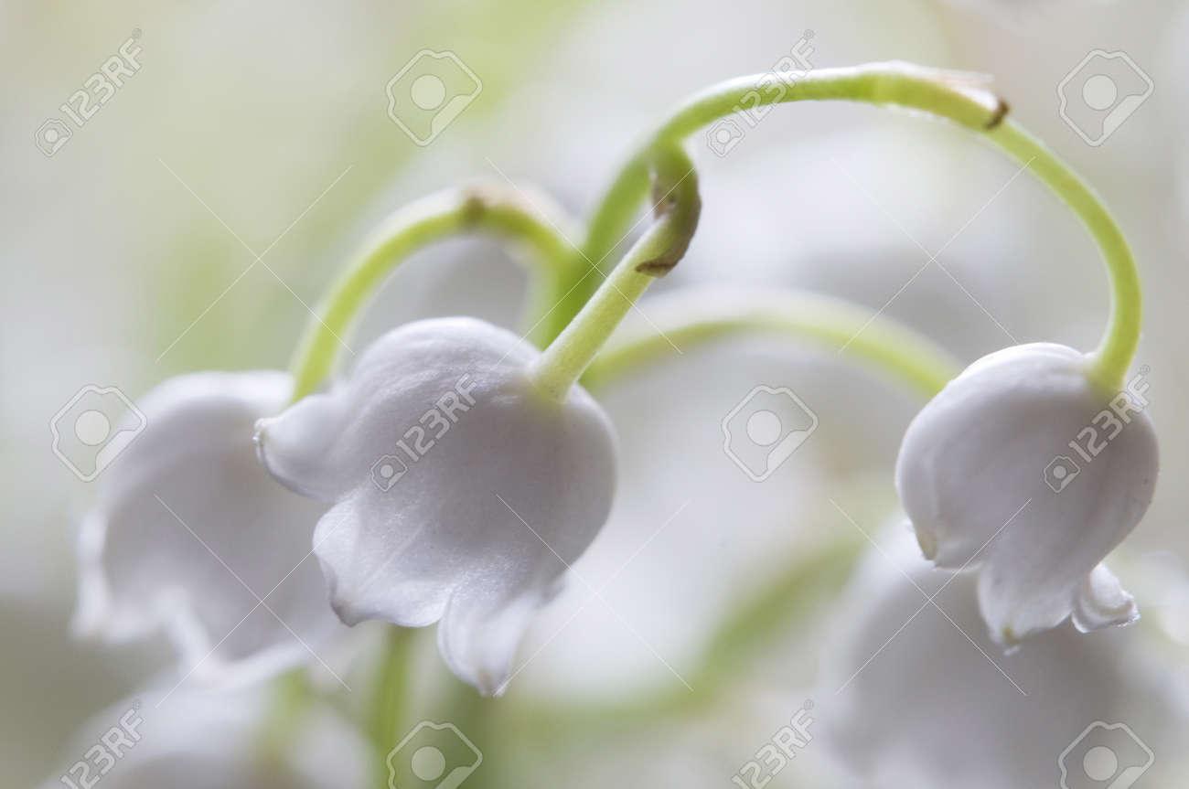 lily of the valley flowers, macro studio shot Stock Photo - 12405091