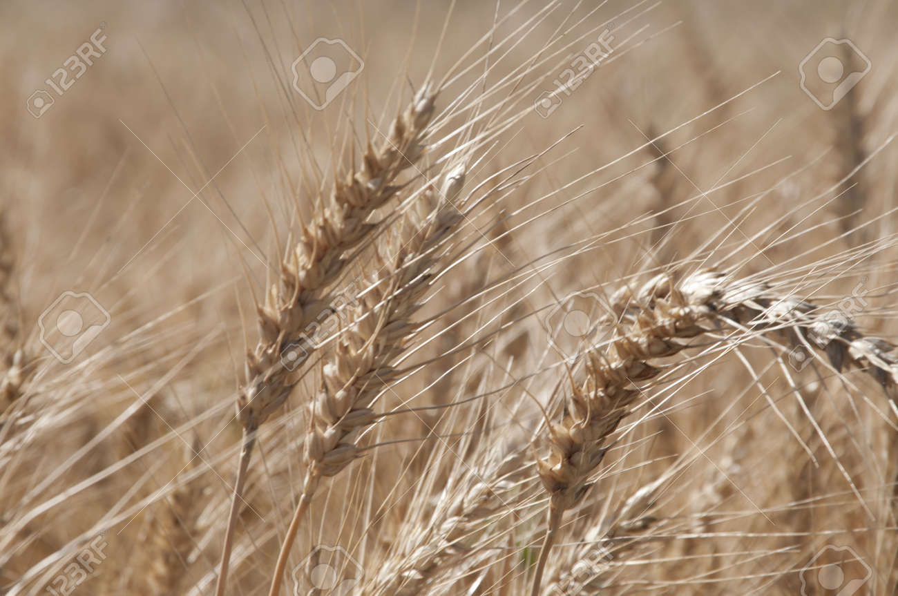 Rye field with spikes ready to collect Stock Photo - 14587378