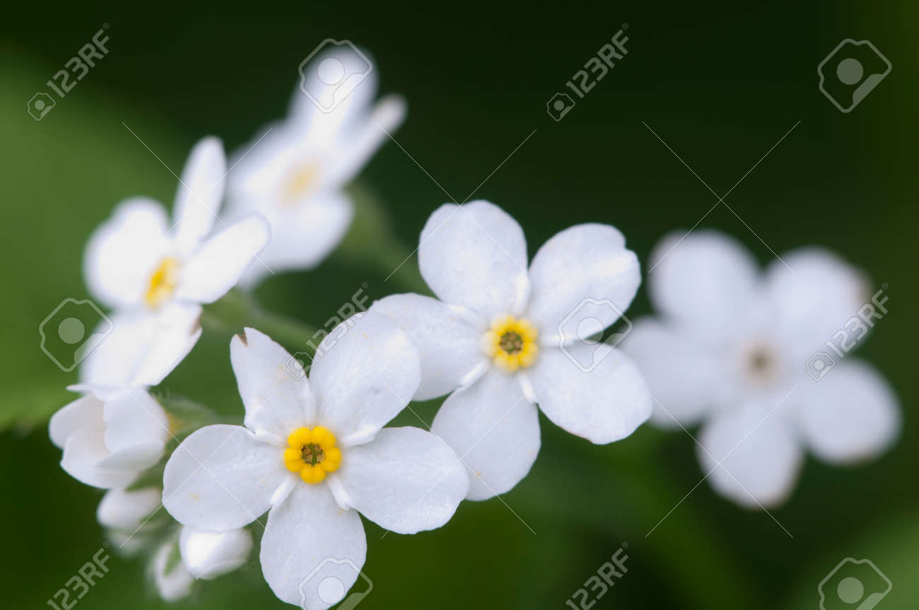 Forget Me Not White Flowers Close Up Shot Local Focus Stock Photo