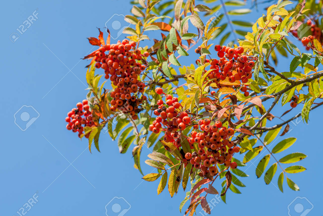 Rowan branch with red ripe berries. Close-up on a background of blue sky - 152632411