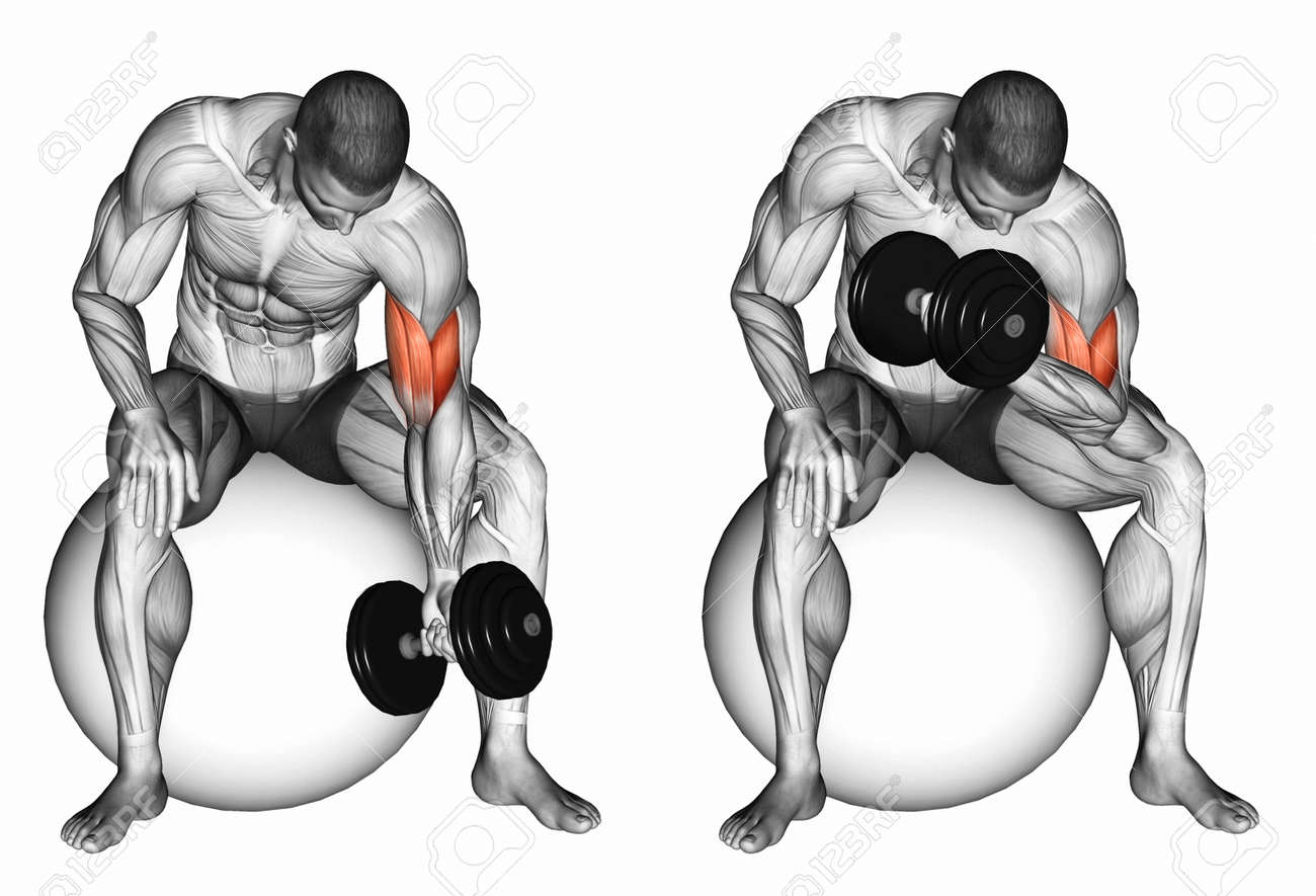 Banque d images - Concentré de flexion des bras avec un haltère. Exercice  pour la musculation. muscles cibles sont marqués en rouge. a06b8392b9b
