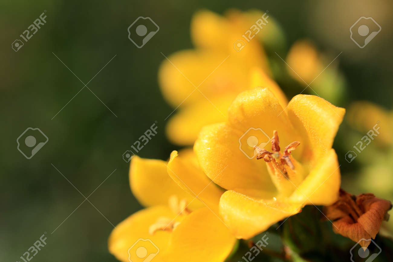 Two Yellow Flower Buds With Five Petals Summer Outdoor Background