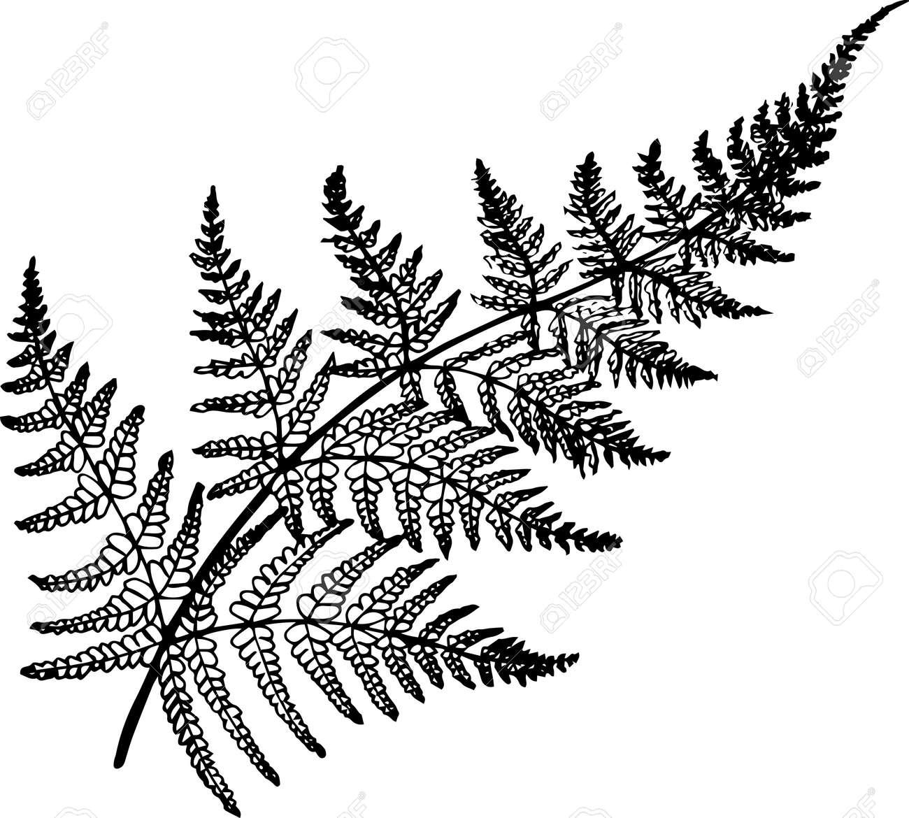 Black and white fern illustration. Ancient plant. - 77704018