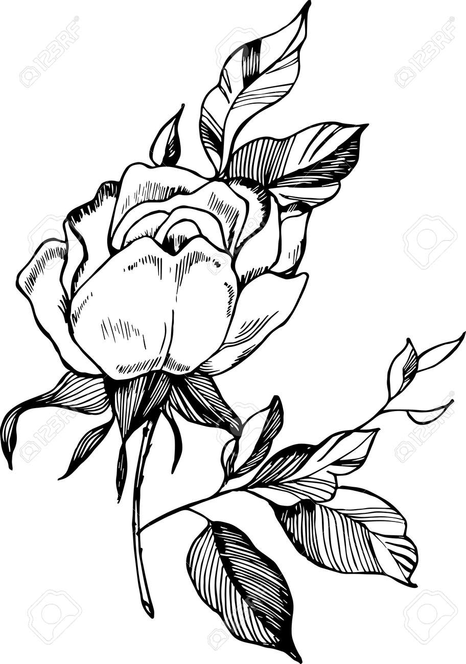 Black White Rose Illustration Drawing Of A Plant In The Style
