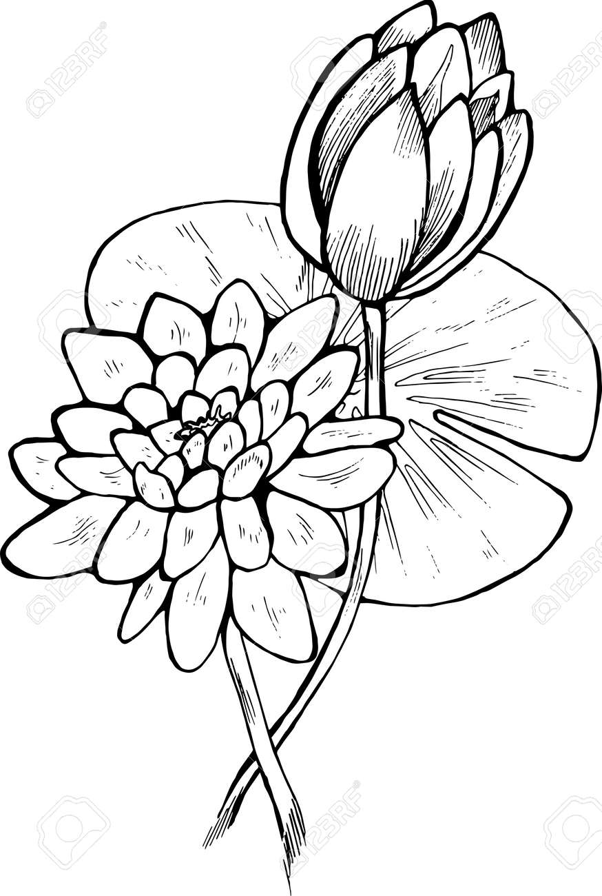 Black And White Lotus Flower Illustration Beautiful Flower