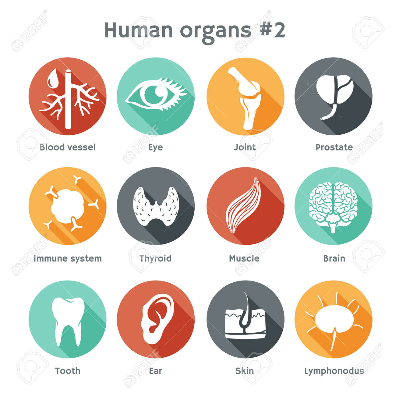 Vector round icons of human organs Flat design - 27552572
