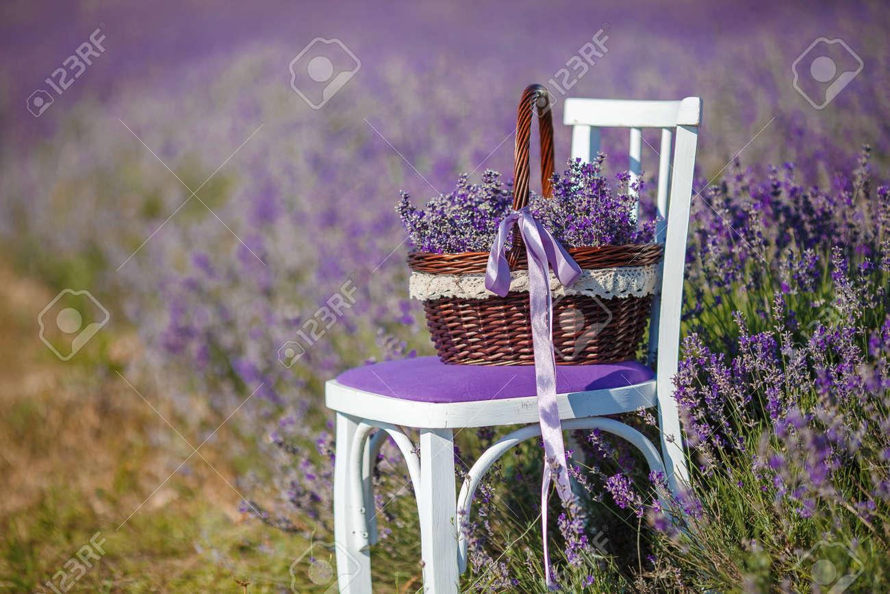 té, champ de floraison lilas de lavande, chaise blanche avec dossier