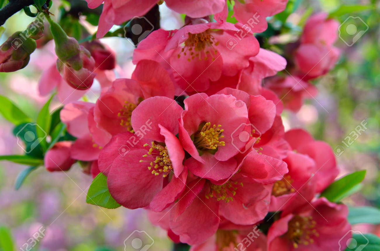 Pink Flowers Of Japanese Quince Blossom In The Garden Stock Photo