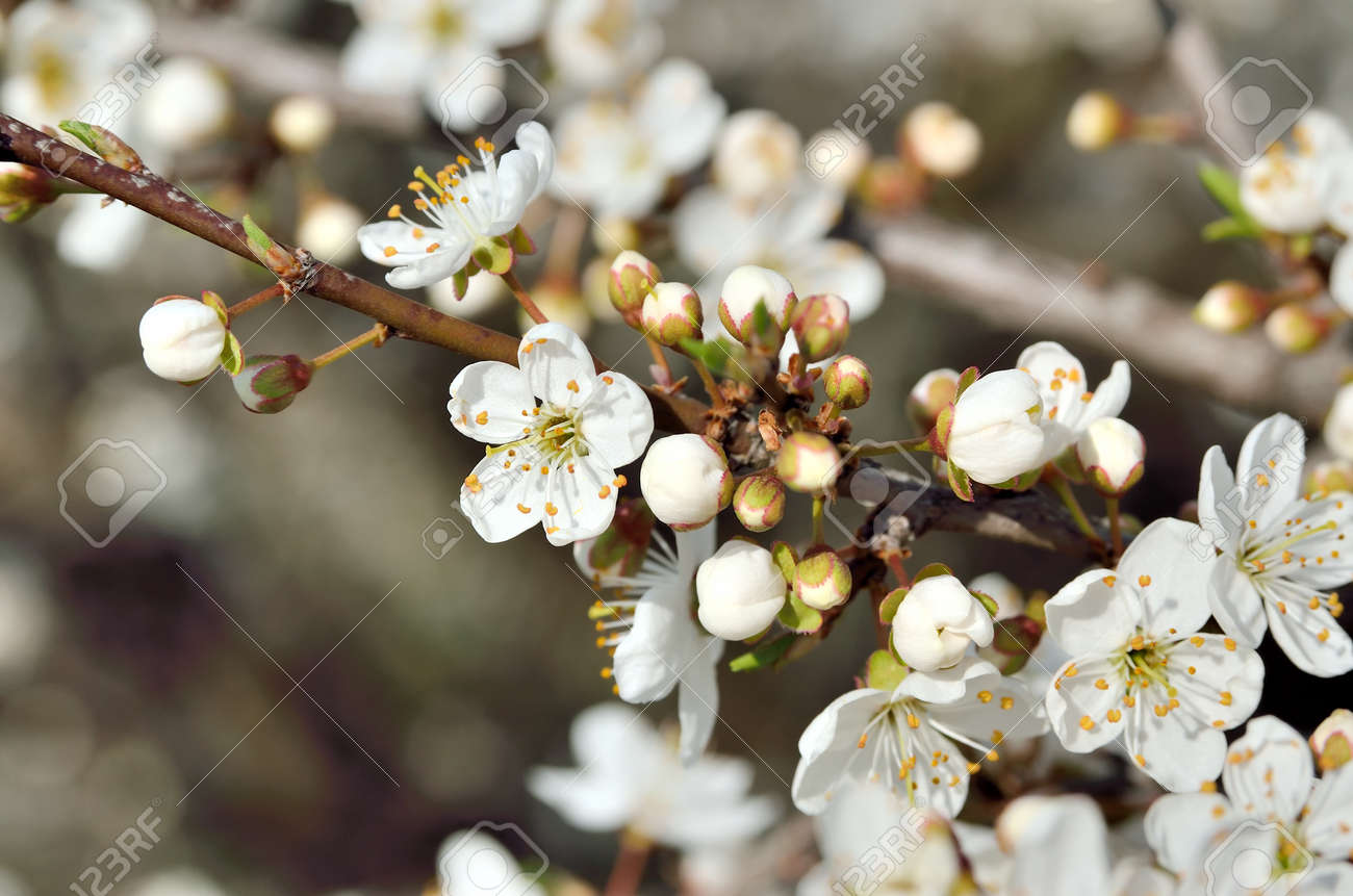 White Flowers On The Branches Of Trees In The Spring Stock Photo