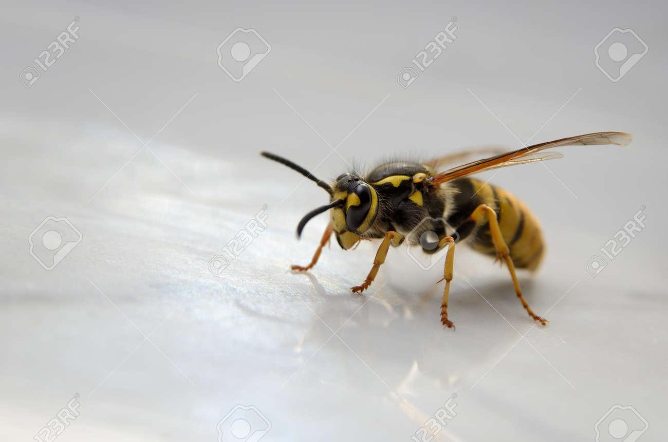 Big wasp isolated on white background, close up - 159932603