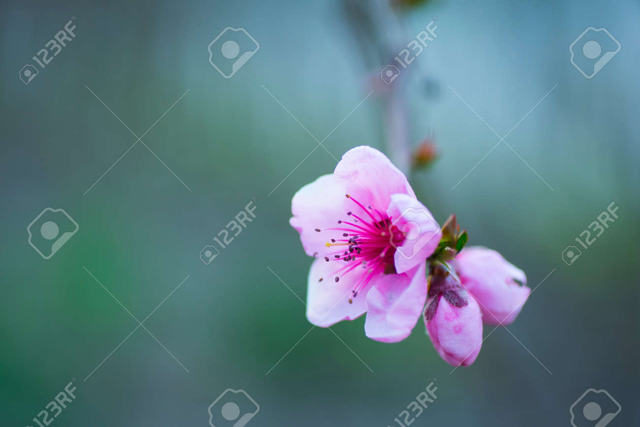 Beautiful Blooming Spring Peach Branch Pink Flowers Stock Photo
