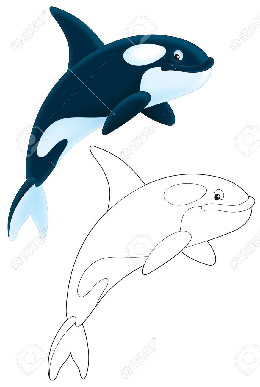 killer whale stock photo picture and royalty free image image