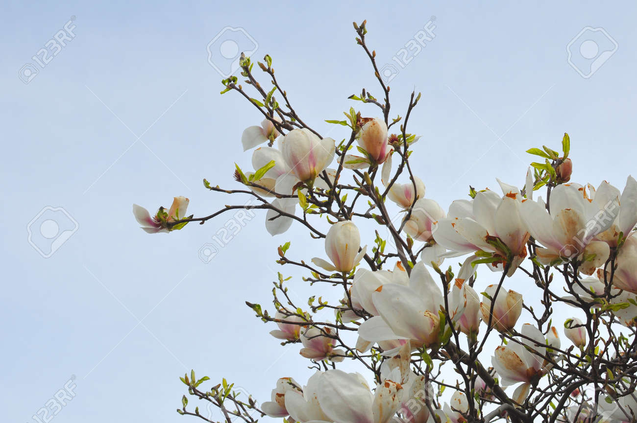 Spring branch of a blossoming magnolia tree with pink and white spring branch of a blossoming magnolia tree with pink and white flowers and buds on a mightylinksfo
