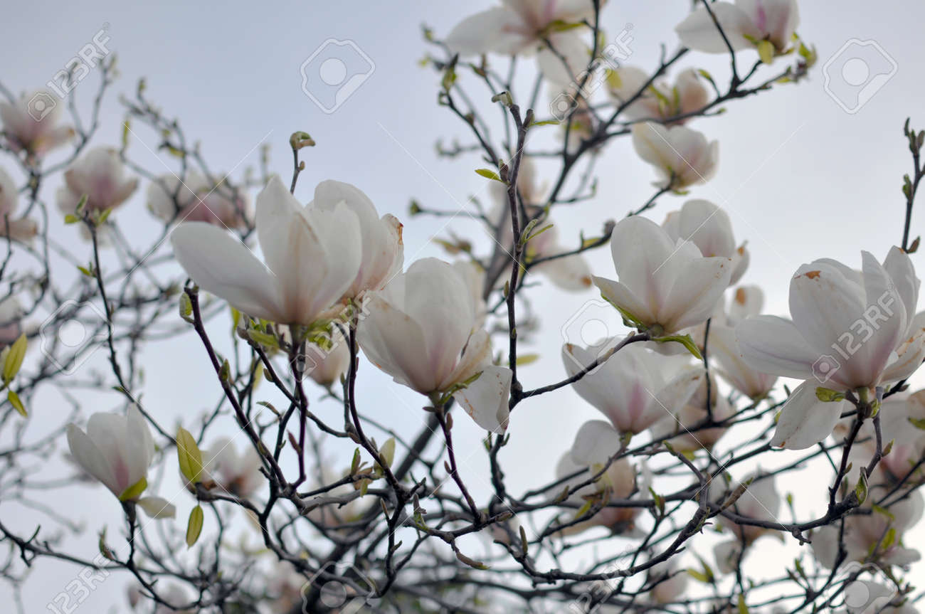 Spring Branch Of A Blossoming Magnolia Tree With Pink And White