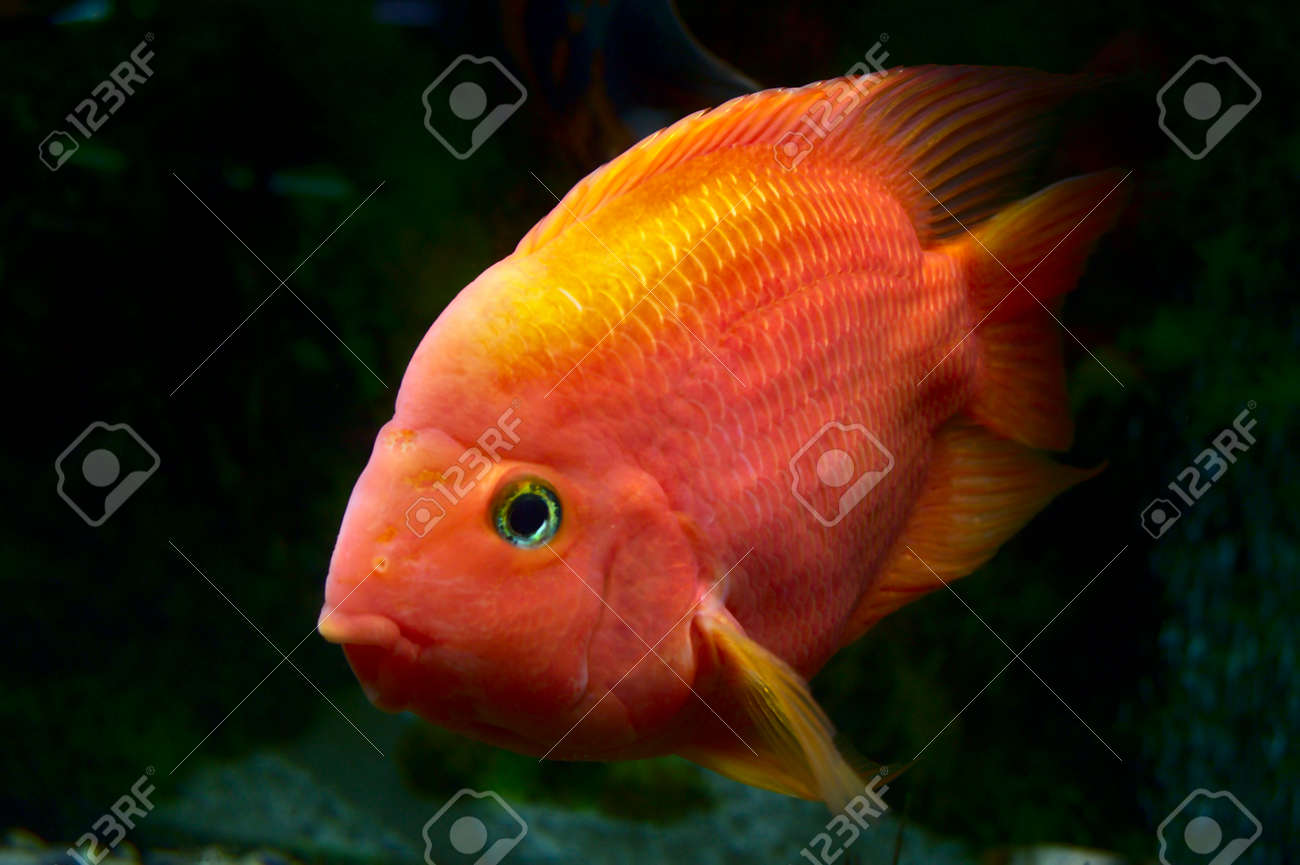 A Fish Of Gold Coloring Poses To The Photographer Behind The.. Stock ...