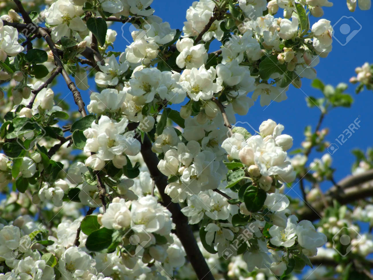Young flowers of apple-trees against the blue sky Stock Photo - 12471572