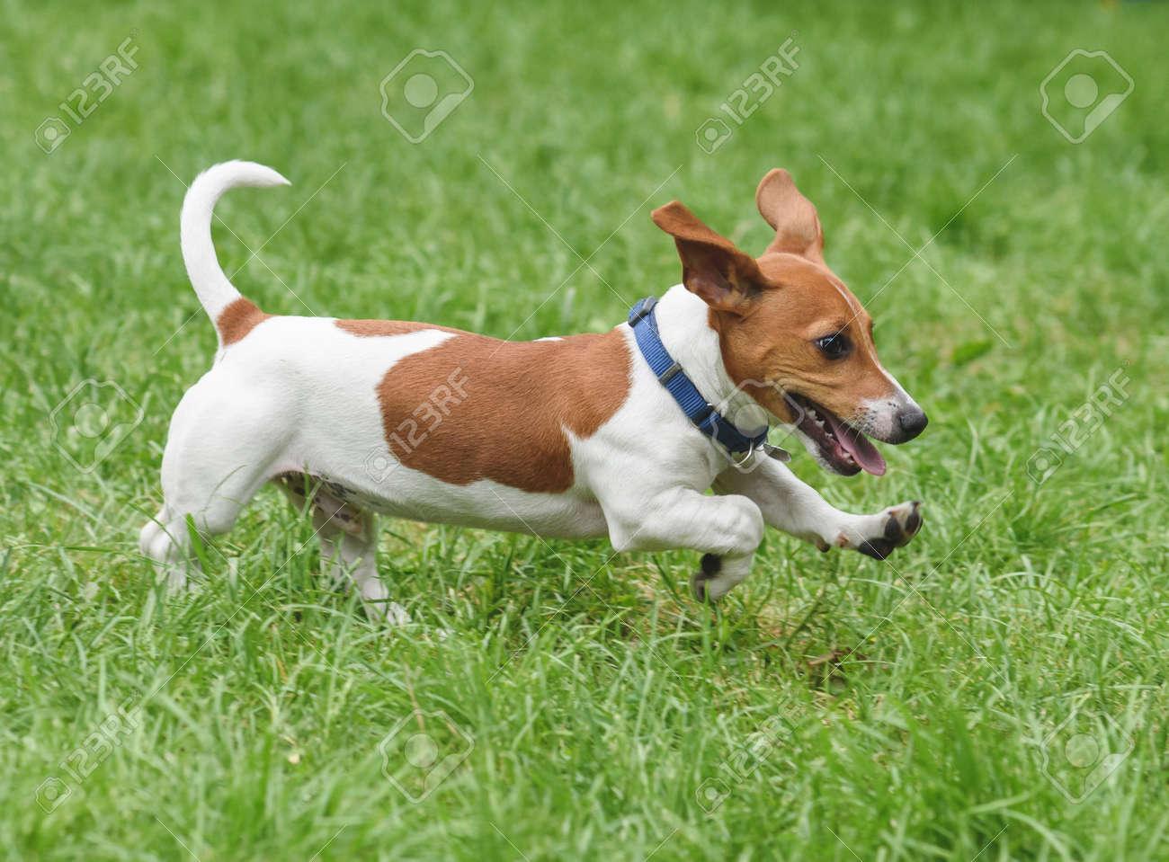 Puppy Of Jack Russell Terrier Pet Dog Running On Green Grass Stock