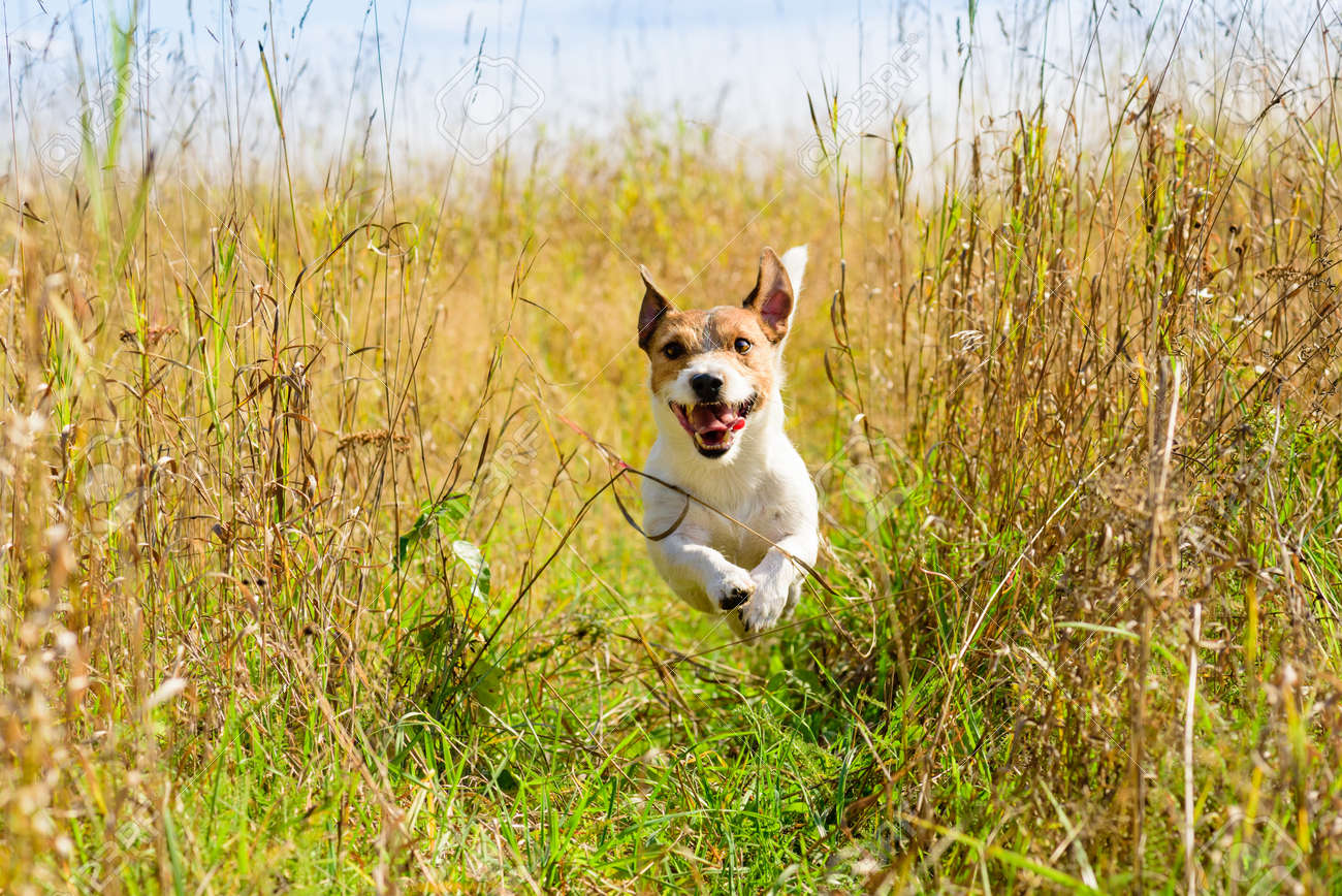 Cute Dog Running Through The Grass At Autumn Fall Field Stock