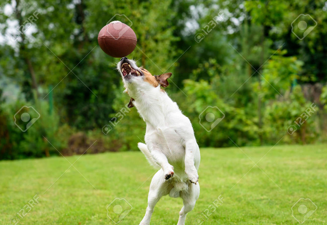 Funny Dog Catching Rugby Ball At Backyard Lawn Stock Photo Picture And Royalty Free Image Image 88792094