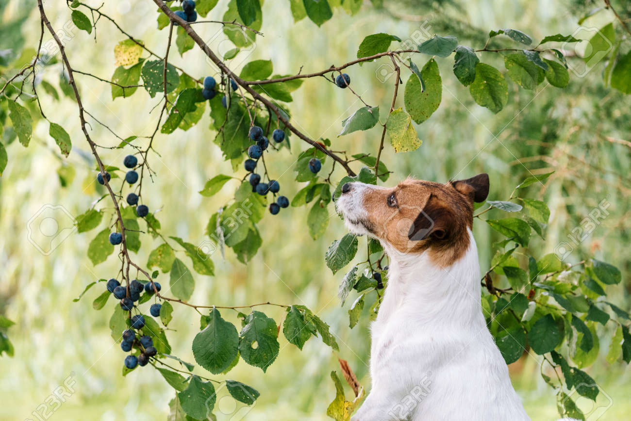 Dog looking at low hanging plum fruits to steal from tree - 108974333