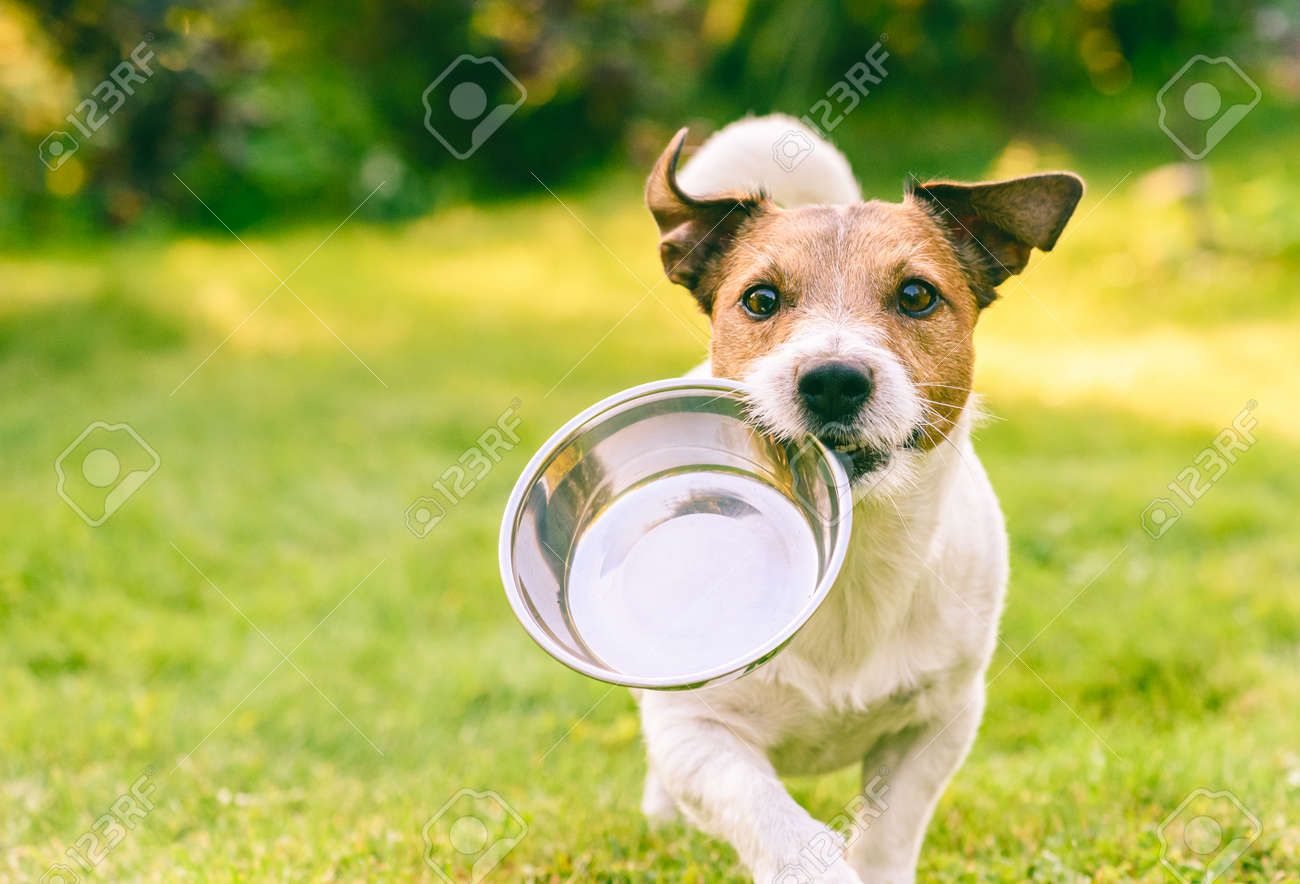 Hungry or thirsty dog fetches metal bowl to get feed or water - 132267650