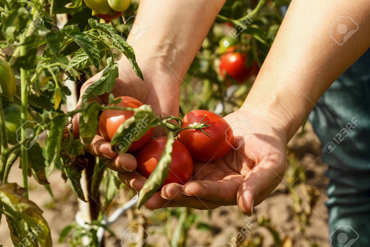 Tomatoes. Picking Tomatoes In A Garden Garden. Garden With A.. Stock ...