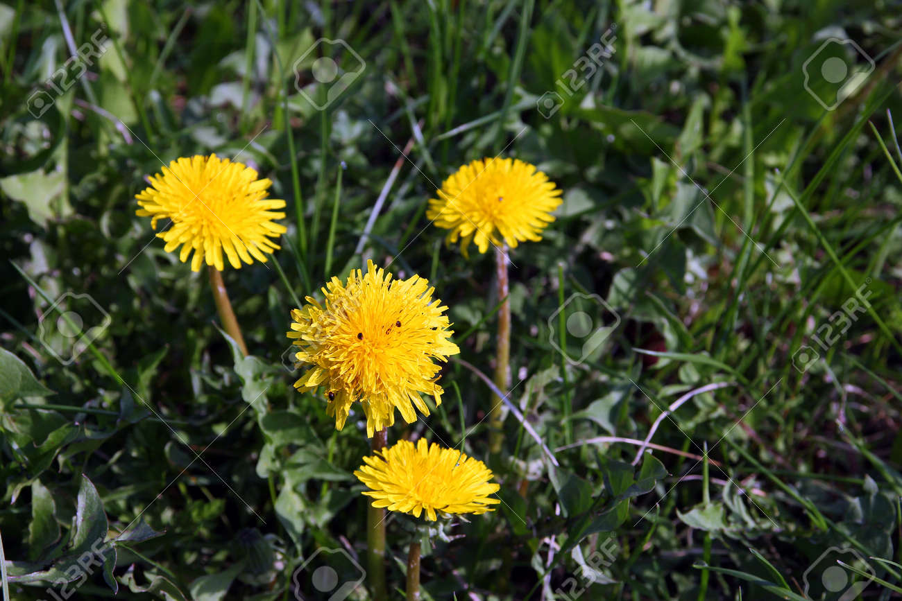 A Few Beautiful Wild Yellow Flowers Dandelions On Green Grass