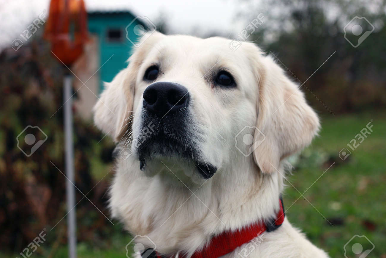 White Dog Golden Retriever With A Black Nose And Black Eyes And