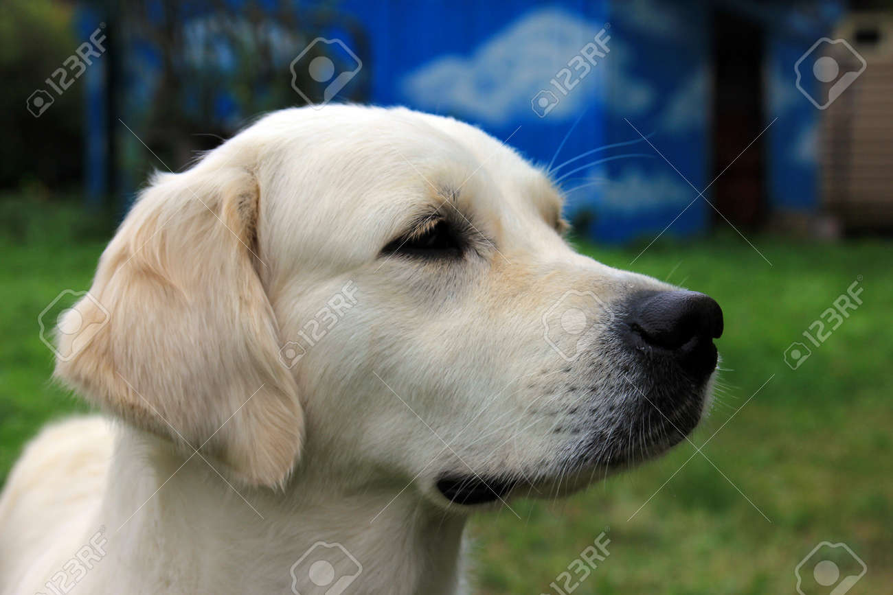 Head Of White Dog Golden Retriever With A Black Nose And Black