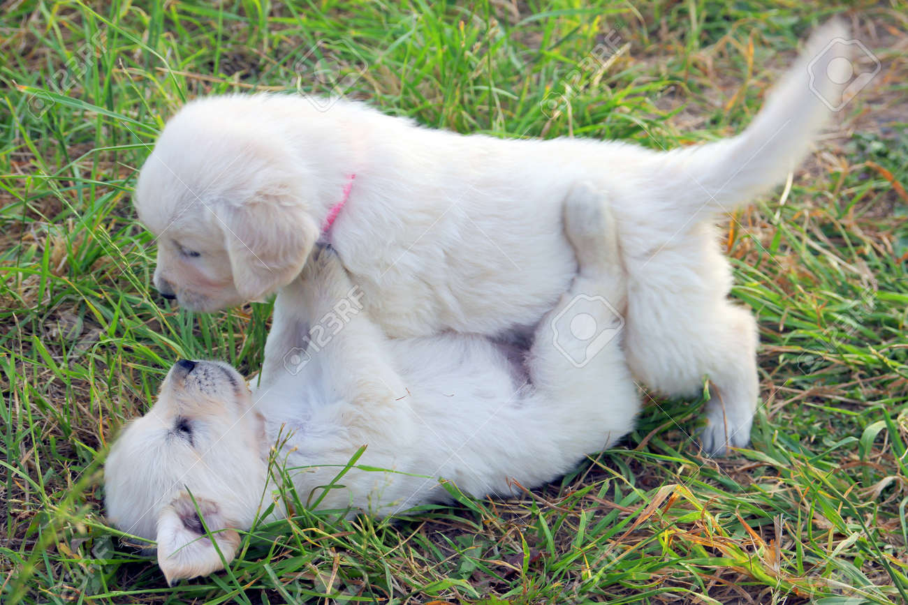 Two Small Beautiful Dogs Golden Retriever White Puppies Playing