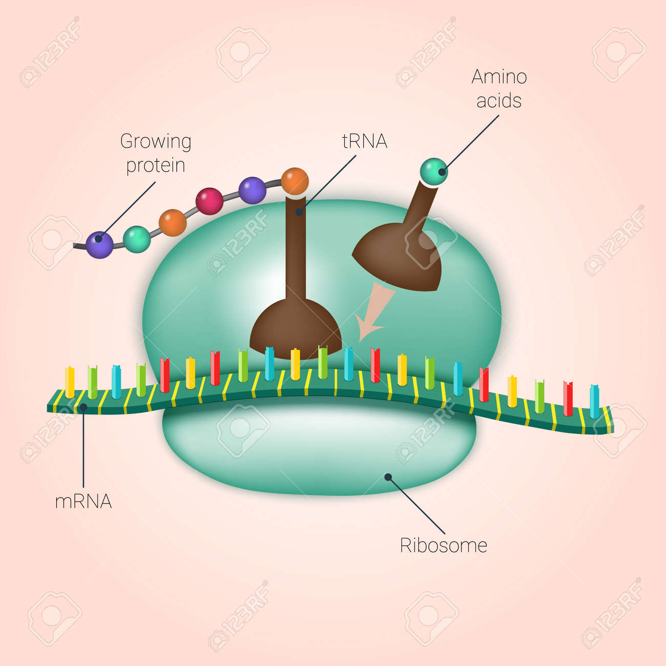 Biosynthesis of protein on ribosome in vector royalty free biosynthesis of protein on ribosome in vector stock vector 49395663 pooptronica