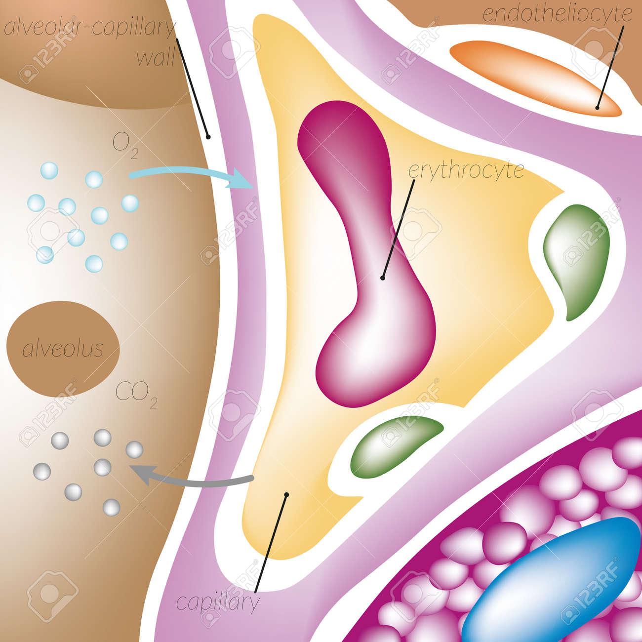 Großzügig Kapillar Fotos - Anatomie Und Physiologie Knochen Bilder ...