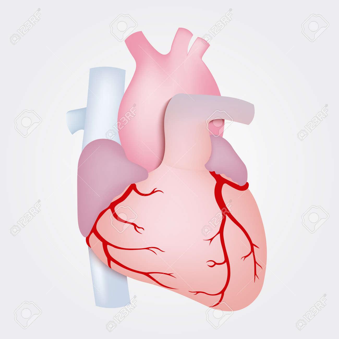 Anatomía Del Corazón Humano Aislado Sobre Fondo Blanco ...