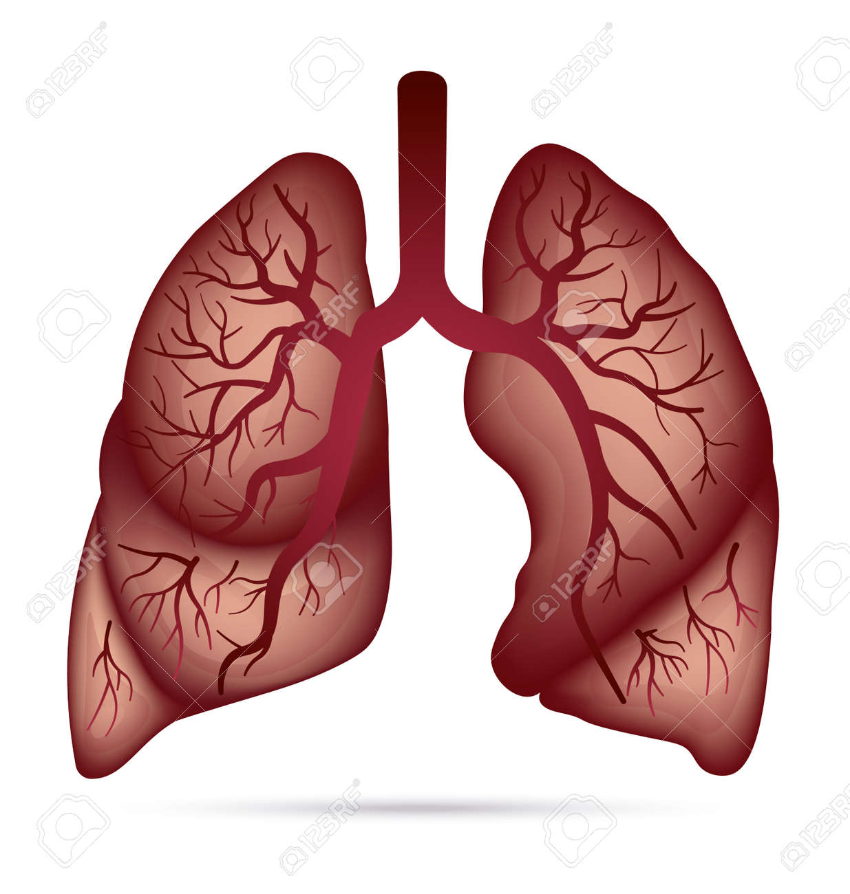 Human lungs anatomy for asthma tuberculosis pneumonia lung human lungs anatomy for asthma tuberculosis pneumonia lung cancer diagram in detail illustration ccuart Image collections