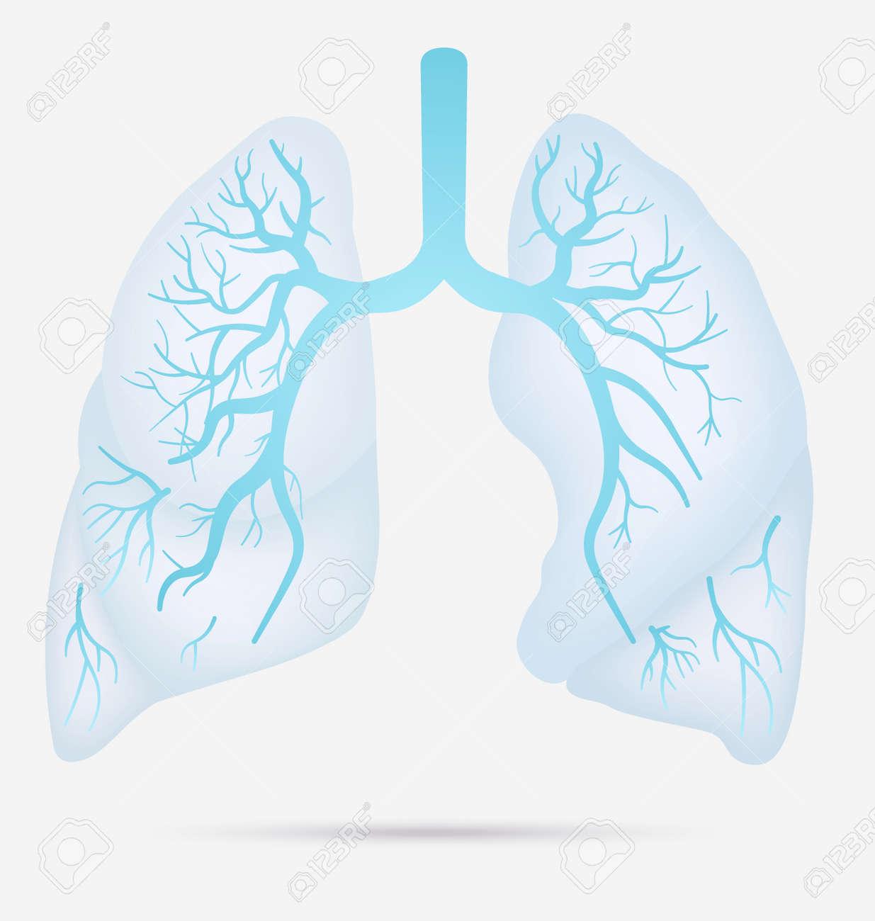 Los Pulmones Humanos Anatomía Para El Asma, La Tuberculosis, La ...