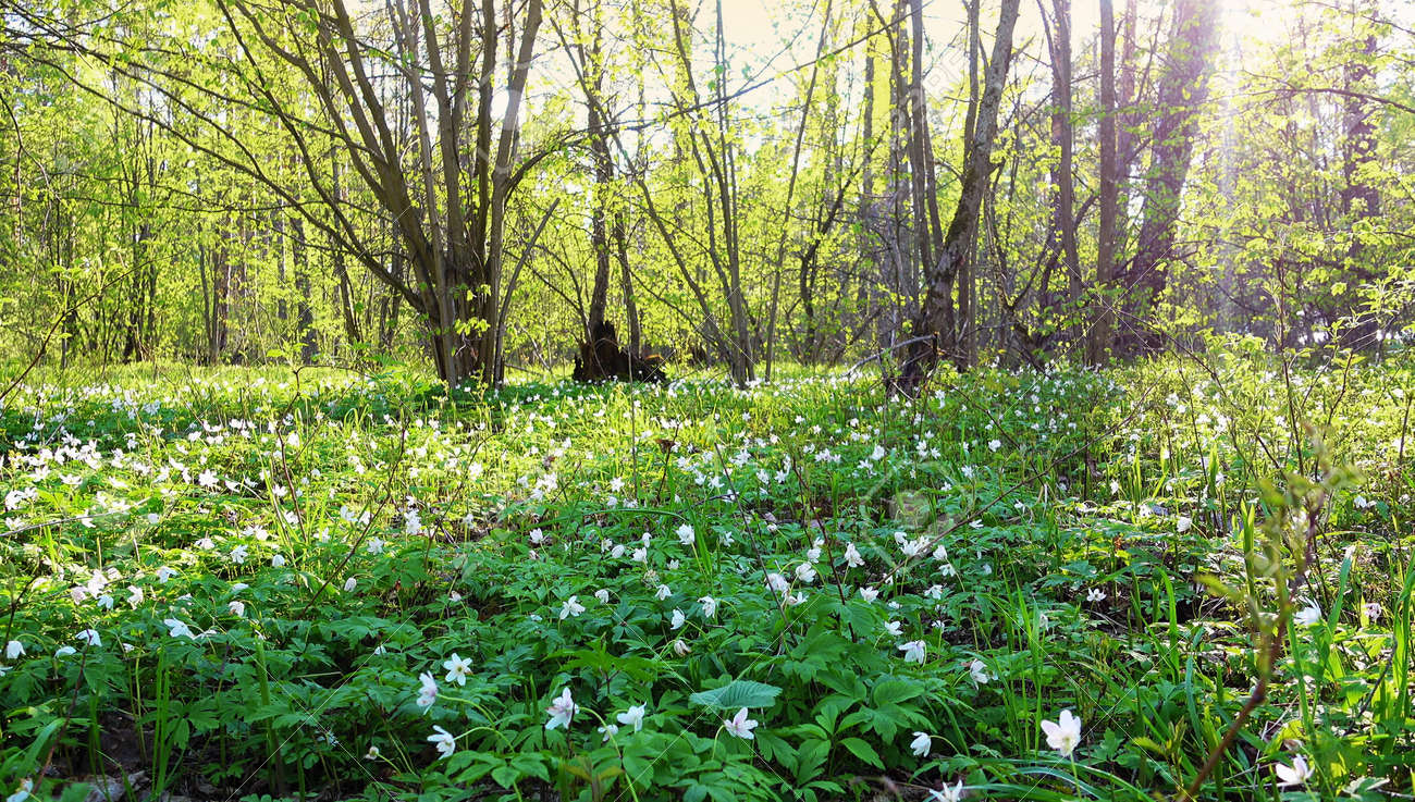 Beautiful Spring Forest And White Flowers Snowdrops Wild Forest