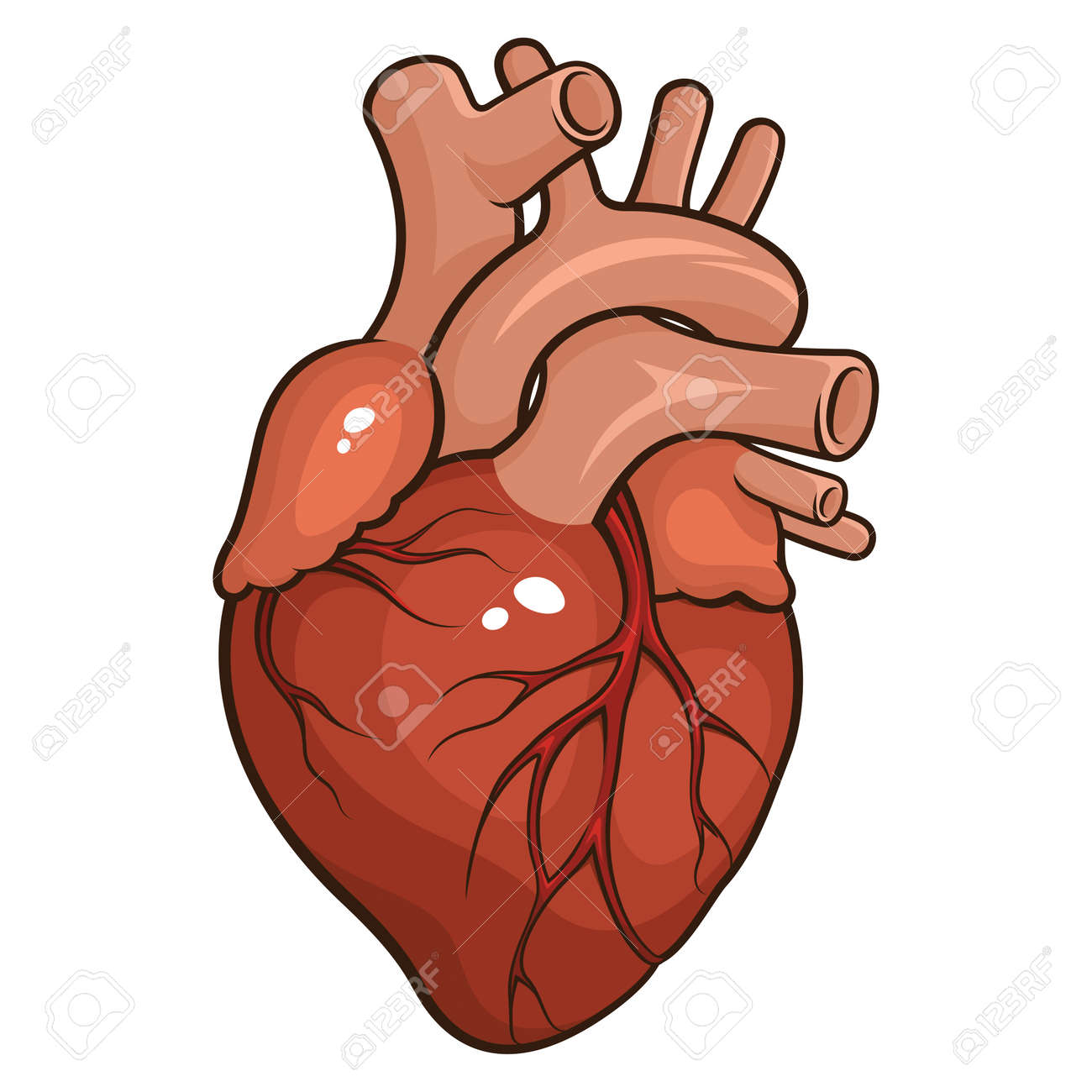 Vector Illustration Of A Human Heart Isolated On A White Background ...