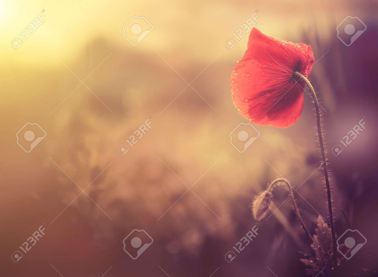 wild poppy flower - 32367607