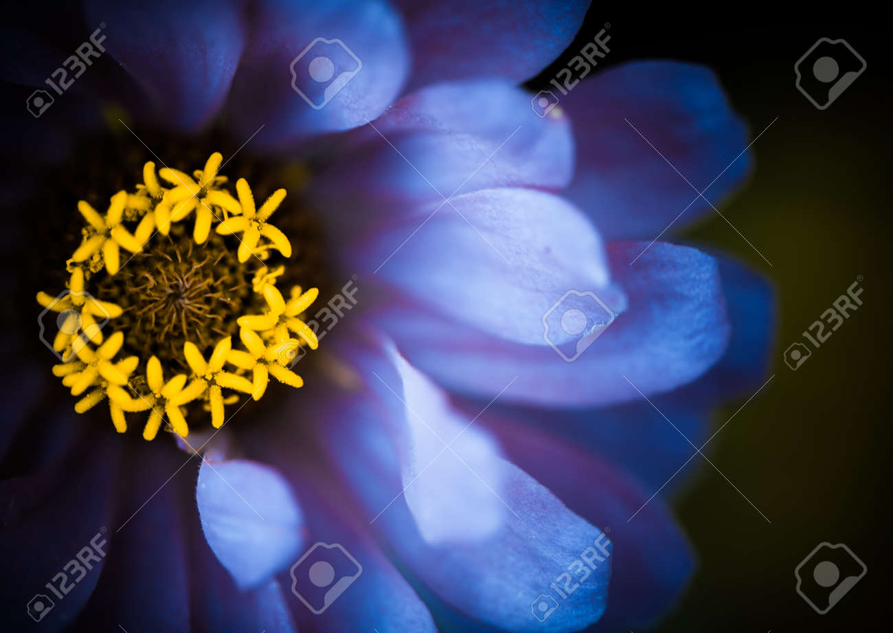 Blue Flower Leafs Closeup With Yellow Center Stock Photo Picture