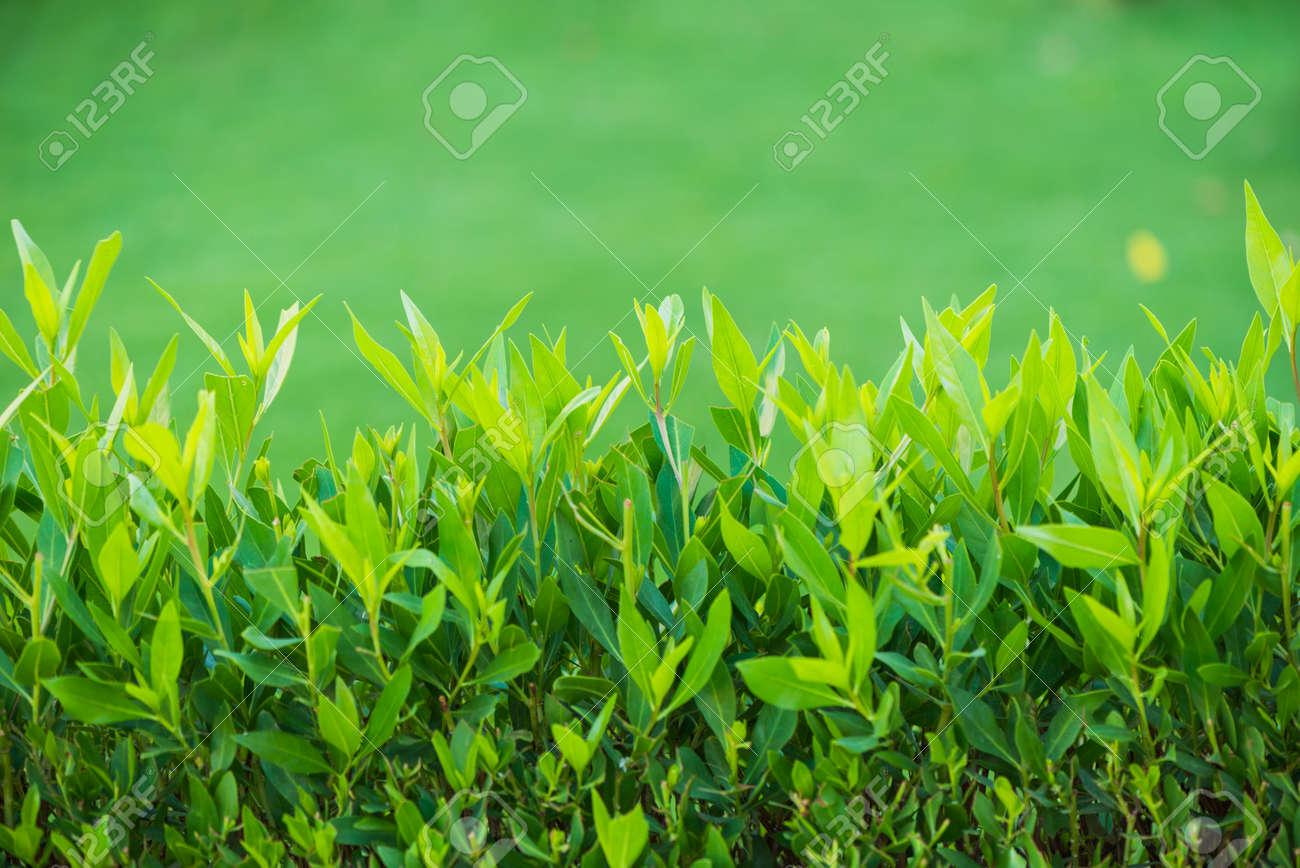 fresh bush leafs at green lawn - 127951819