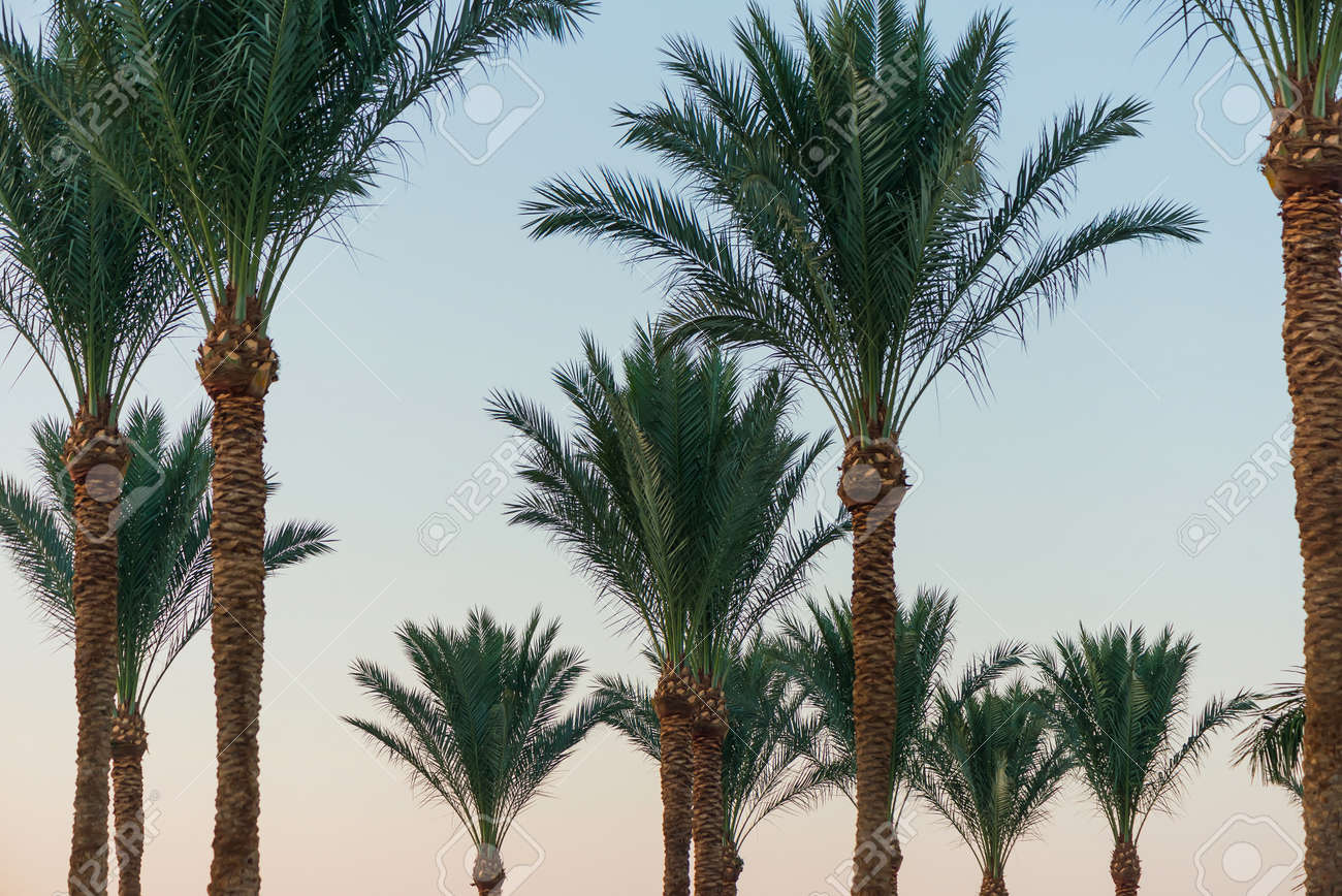 beautiful palm trees at sunset - 127951827
