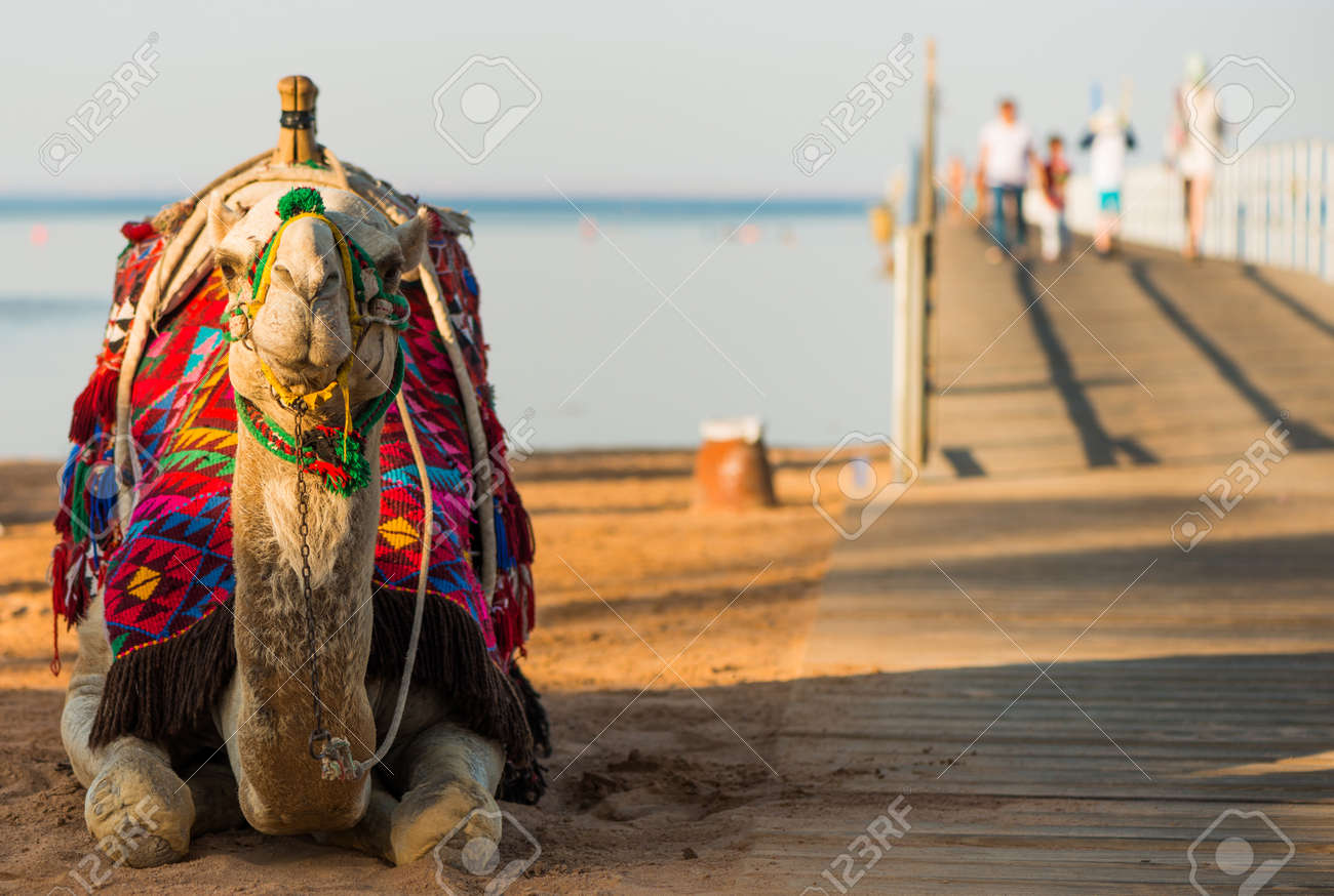camel in colorful traditional decorated saddle - 127951884