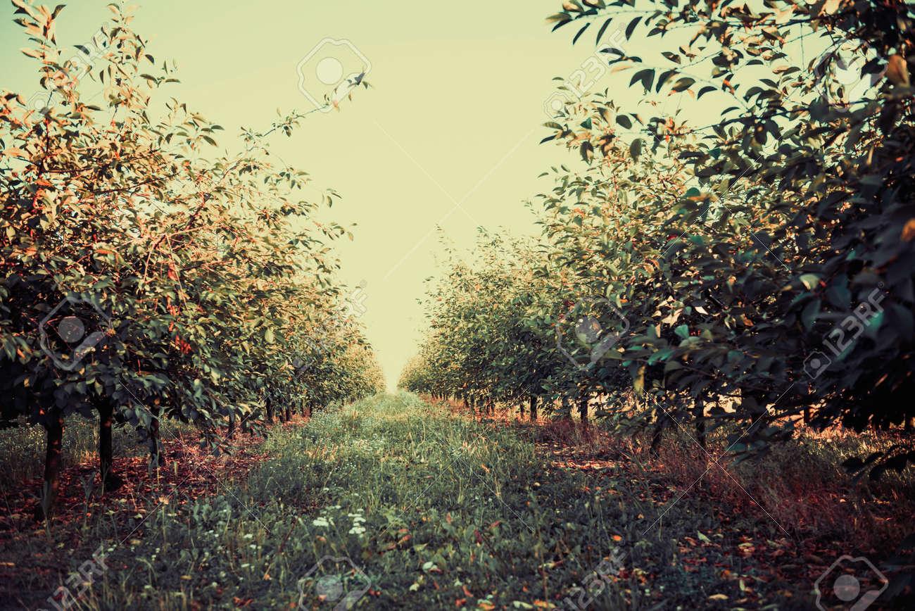 summer cherry garden trees in lines to horizon - 131219589