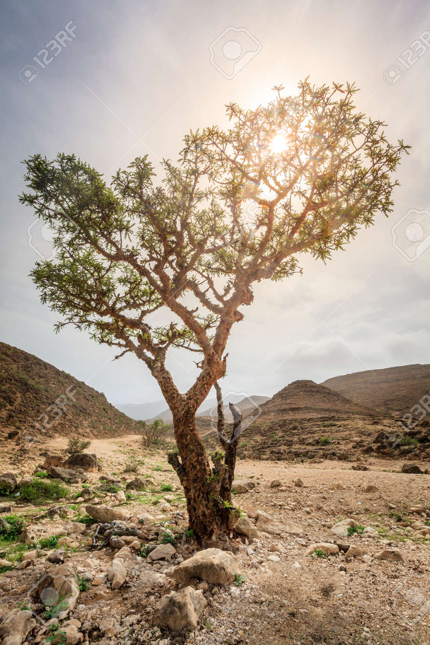 Frankincense Tree Growing In A Desert Near Salalah Oman Stock