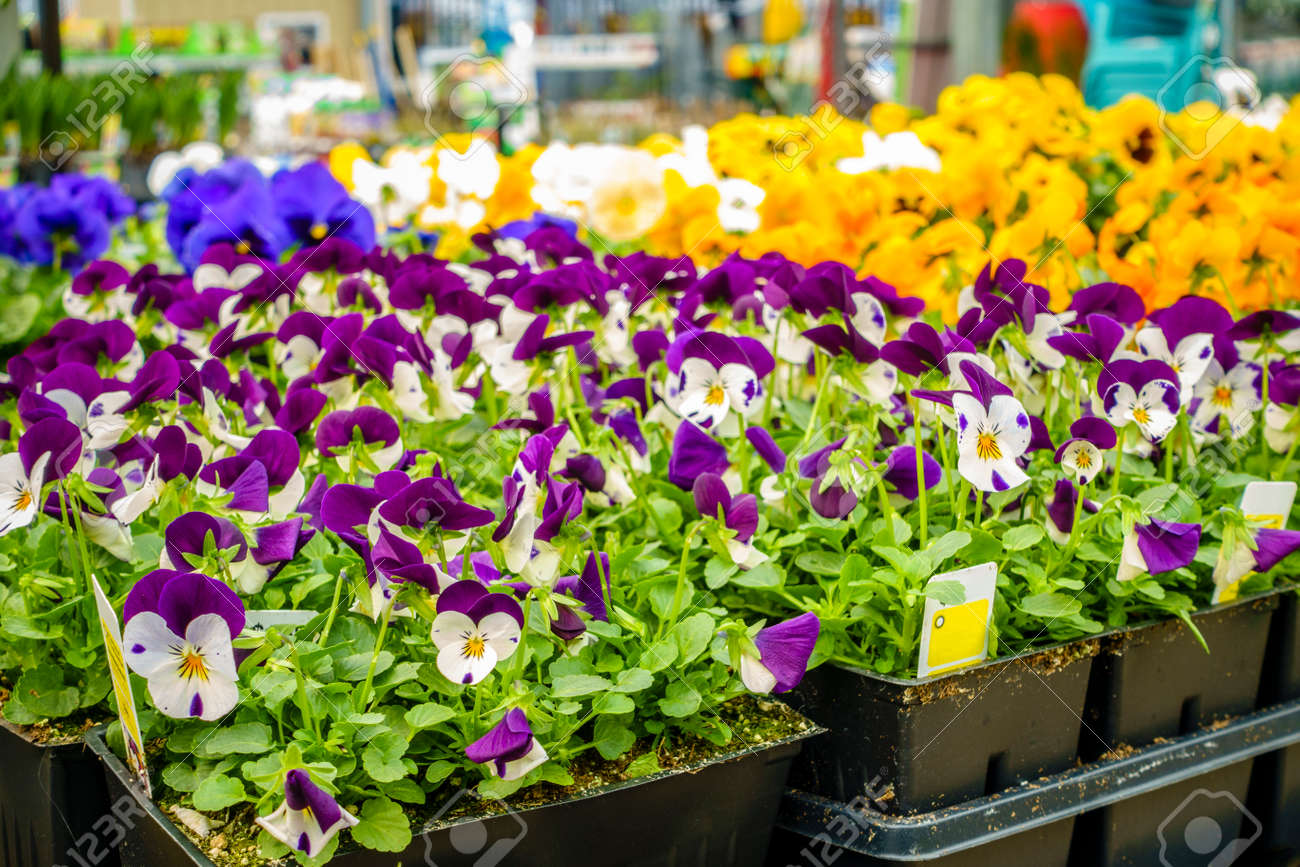 Potted flowers and plants on display at a home improvement store potted flowers and plants on display at a home improvement store in spring stock photo mightylinksfo
