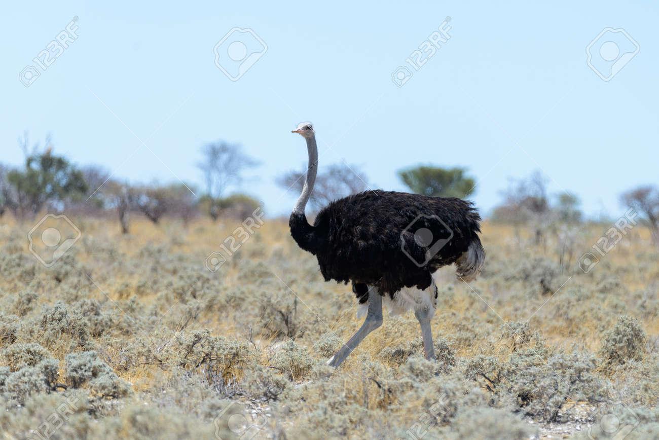 Wild ostrich walking in the African savannah - 137489975