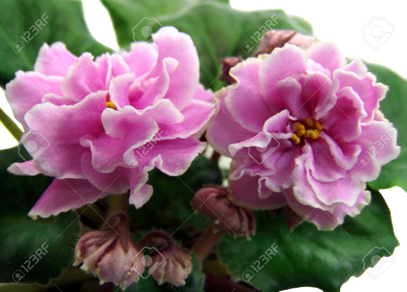 Flowers and buds of collection african violets ek lyubasha stock flowers and buds of collection african violets mightylinksfo